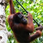 Семонгок-Борнео-Малайзия copy