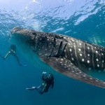 whale-shark2_resize